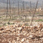 isreali wine photos