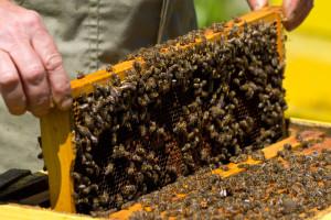 Comercial Honey Bees