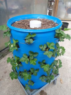 Google Image Result For  Http://maxicontainer.com/mailings/april 10 Newsletter_files/96 | Garden  | Pinterest | 55 Gallon Drum, Strawberry Patch And 55 ...